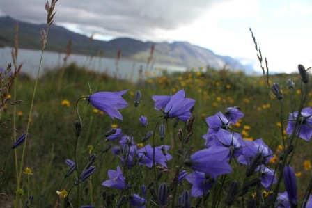 Flowers and mountains in Greenland