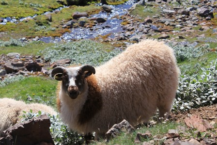 A sheep in Greenland