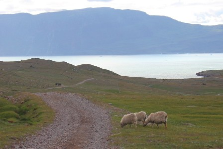 Sheeps along the Kongvegen, the King's Way from Itilleq to Igaliku