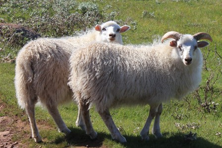 Two sheeps from Tasiusaq Farm in Greenland